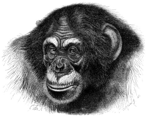 Chimpanzee_head_sketch